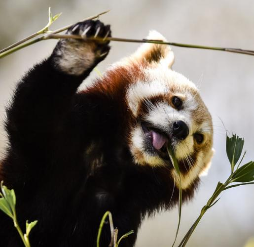 A red panda feeds on bamboo in the sunshine at Bristol Zoo Gardens